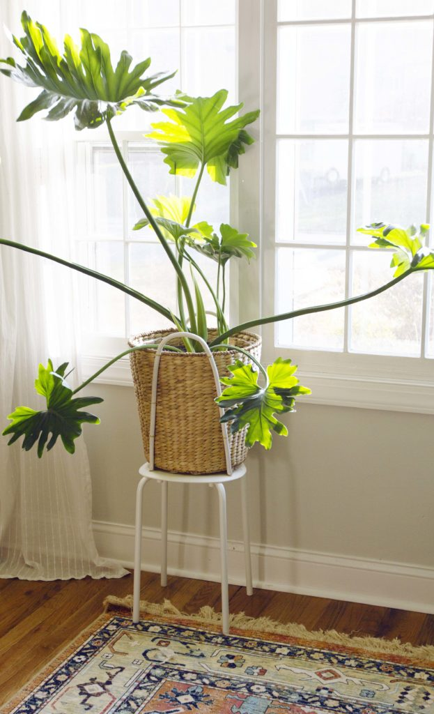 split leaf philodendron hard to kill house plant