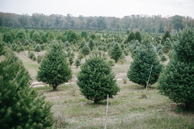 Sustainable Holiday Decor Tree Farm 1
